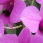 Dendrobium Minatures
