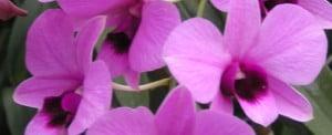 dendrobium-miniature-pink