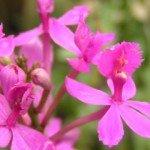 Epidendrum Pretty Lady