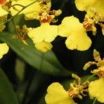 Oncidium Golden Shower