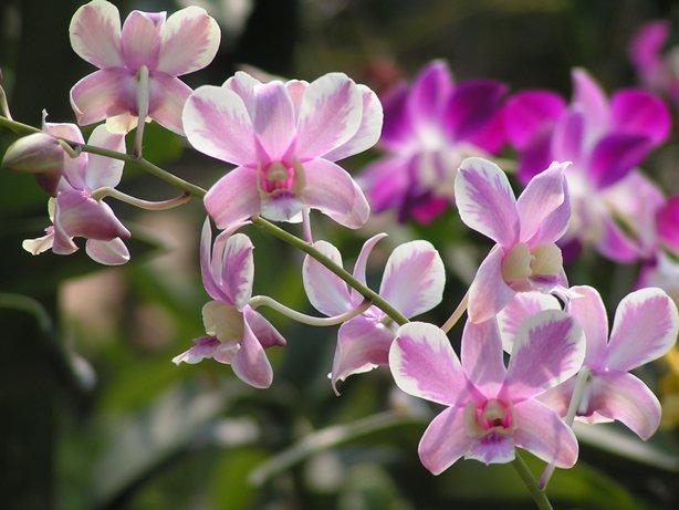 Dendrobium Shavin White Splash Mutation, orchid