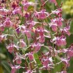 Dendrobium Spatulata, orchid