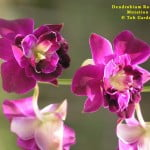 Dendrobium Red Bull Mutation, orchid