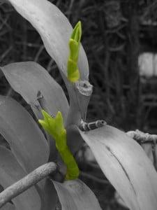 Mokara orchid plant with Keikis closeup