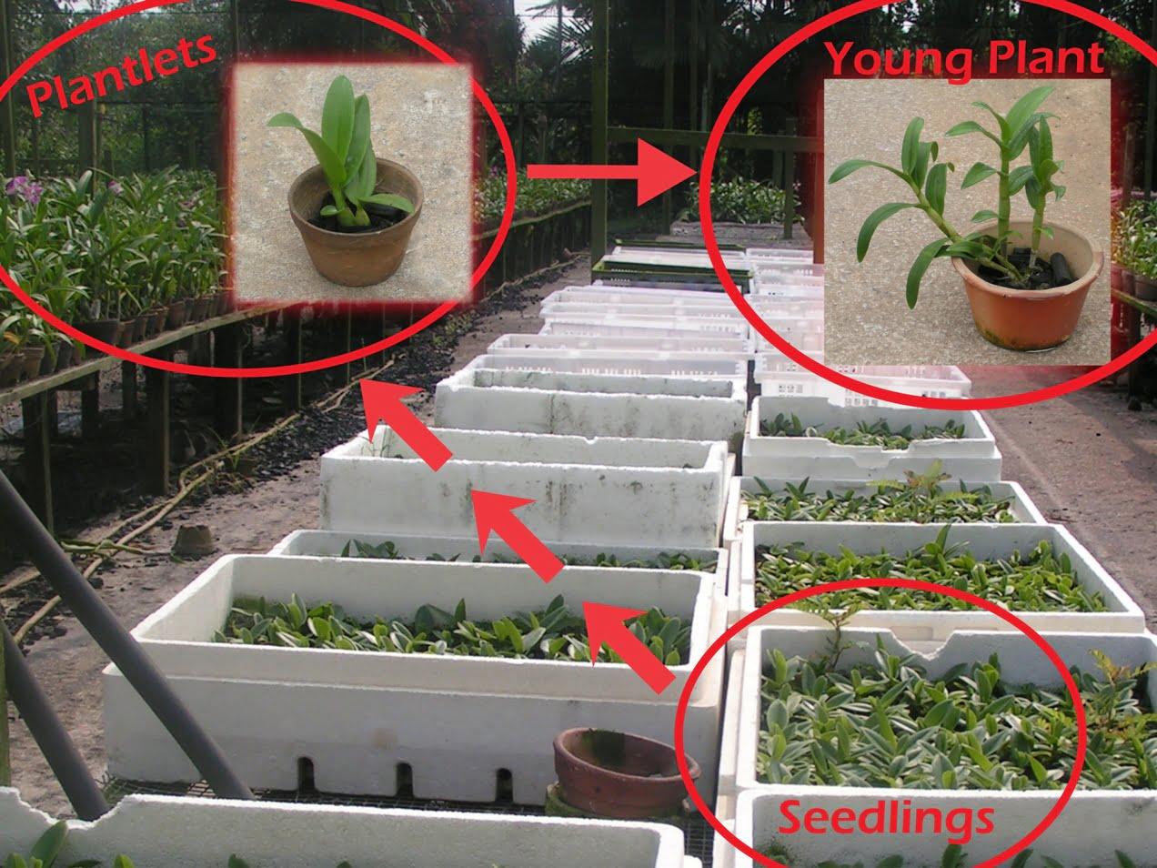 Repot Dendrobiums