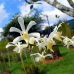 Aeridachnis Bogor 'Apple Blossoms'