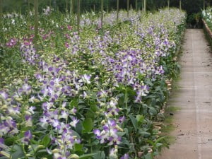 Dendrobium Aridang Blue in a row