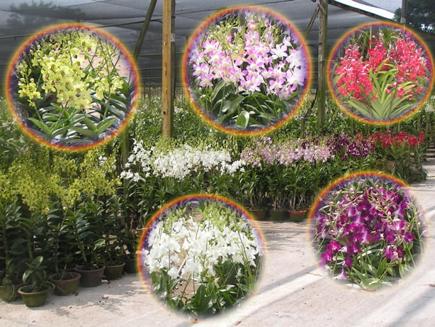 Dendrobium Orchids produced for sale