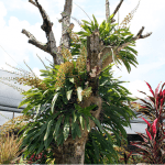 Grammatophyllum scriptum (Bell Orchid)