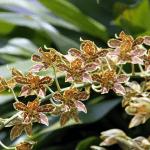 Grammatophyllum Scriptum