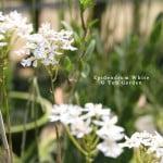 Epidendrum White