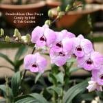 Dendrobium Chao Praya Candy hybrid