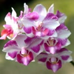 Upcoming Orchids in Bloom