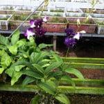 Dendrobium Intan Delima hybrid