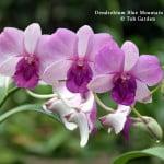 Dendrobium Blue Mountain hybrid