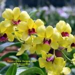 Dendrobium Burana Gold