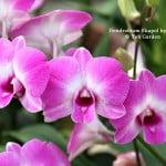 Dendrobium Ekapol hybrid