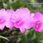 "Dendrobium phalaenopsis hybrid ""Pastel Pink"""