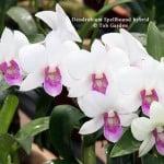 Dendrobium Spellbound hybrid