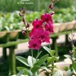 Dendrobium Tay Swee Keng (Jr)