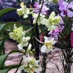 Dendrobium Shavin Mutation