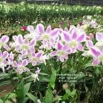 Dendrobium Lucian Pink