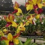 "Dendrobium Burana Gold ""Splash"""