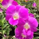 Dendrobium Patel Rose