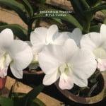 Dendrobium Pearline
