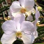 Vanda Esther Araneta Pure White