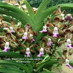 Fragrant Orchids in the heat