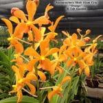 "Ascoarachnis Shah Alam City ""Orange"""