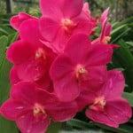 Ascocenda Thai Cherry