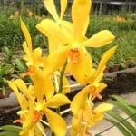Mokara Chitti Yellow