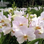 Vanda Esther Araneta Pure White