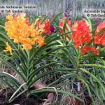 Ascocenda Ambrosian Twinke & Ascocenda Sagarix