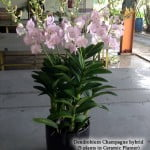 Dendrobium Champagne Hybrid 5 in 1