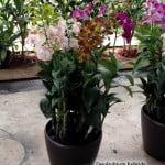 Dendrobium Hybrids 6 in 1
