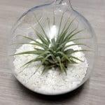 Tillandsia Ionantha in Glass