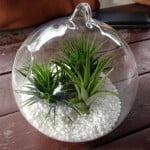 Tillandsia in Glass Ball