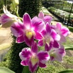 Random Orchids