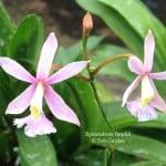 Epidendrum funckii