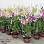 Dendrobium Mix Pot