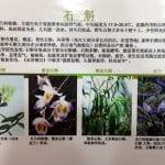 Herba Dendrobium