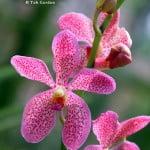Aranda Chark Kuan Pink