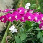 Dendrobium Glory Hybrid