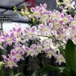 """Dendrobium Lucian Pink """"Splash"""""""