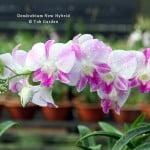Dendrobium New Hybrid