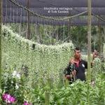 Dischidia variegata