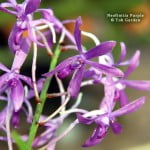 Neofinetia Purple